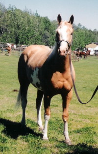 RDK April Gold, palomino overo paint and pinto filly for sale