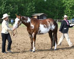 RDK Allredebehindbars - 2005 chestnut sabino and frame overo pinto and paint filly for sale