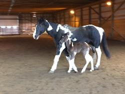 RDK HighFlyer - Black pinto and paint colt