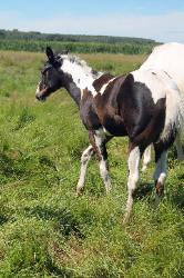 RDK Coos Me GoodLookin - 2016 Homozygous black and white tobiano paint filly for sale