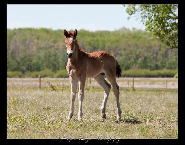 RDK Tried N True - bay paint colt for sale
