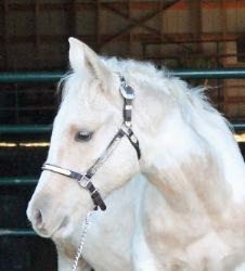 RDK Coos Im Cruisin - 2015 palomino tobiano colt for sale