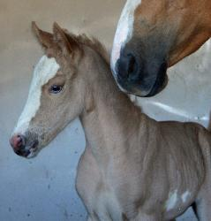 RDK Silky Smooth, palomino overo, paint filly, pinto filly, SOLD