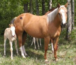 RDK Smooth Quincy, palomino overo, paint mare, pinto mare, for sale