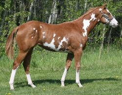 RDK Major Minx (Annabelle) sorrel overo paint pinto mare for sale