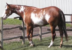 RDK Allredebehindbars - Bea, paint and pinto mare for sale - Canadian Pinto supreme champion