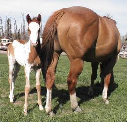 RDK Whata Cool Breeze - pinto and paint filly for sale