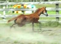 RDK Class E Lady chestnut sabino overo paint pinto filly for sale