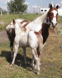 JC and Indy - tobiano paint mare with sabino tovero foal