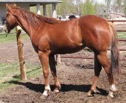 Kimmie at 2 yrs, sorrel filly for sale, big bodied, powerful, ground covering movement