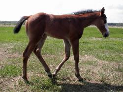 RDK MySocks AreBlack - Mesa, 2010 bay paint filly for sale