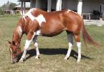 Ninety Six Jewels 1996 Chestnut tobiano mare for sale
