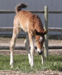 RDK Tried N True - paint and pinto colt for sale